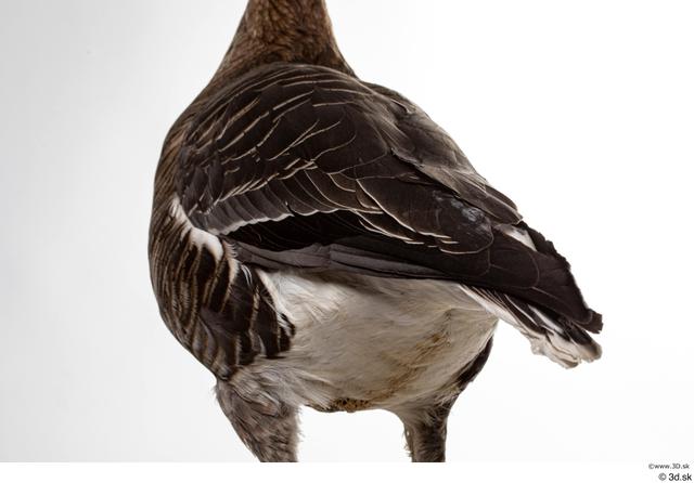Back Tail Goose Bird Animal photo references