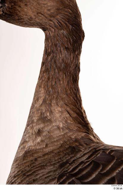 Neck Goose Bird Animal photo references