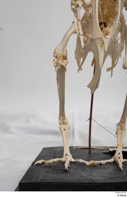 Skeleton Bird Animal photo references