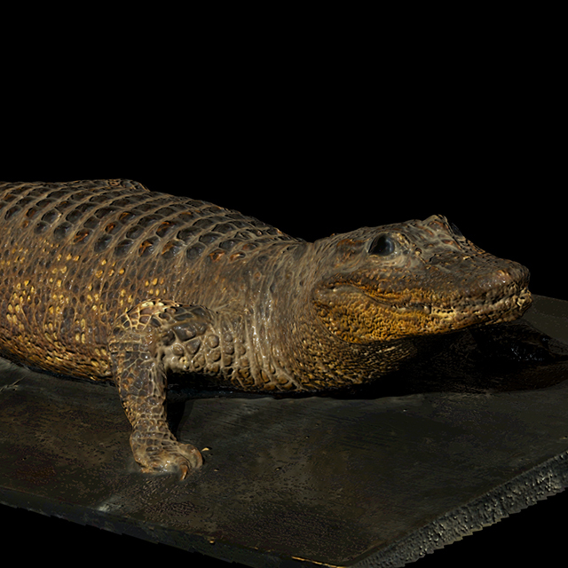 Crocodile 3D Scans