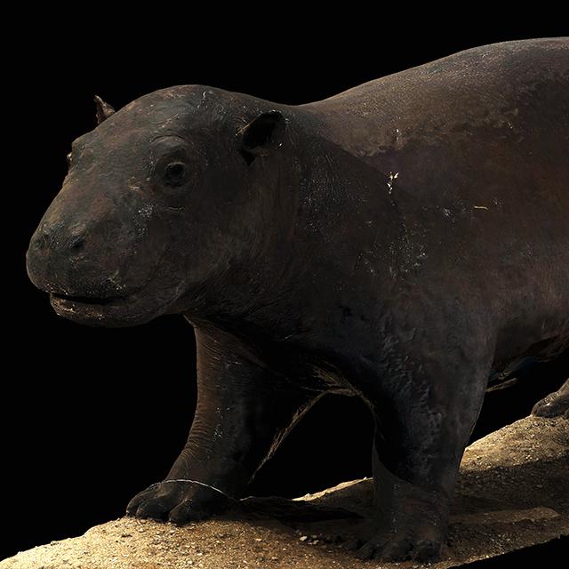 Hippopotamus 3D Scans