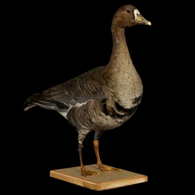 Goose 3D Scans