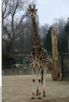 Giraffe 0001