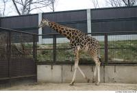 Giraffe 0002