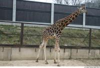 Giraffe 0003