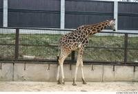 Giraffe 0004
