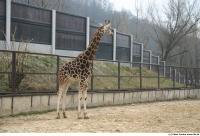 Giraffe 0006