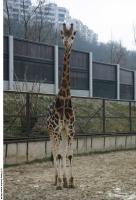 Giraffe 0008