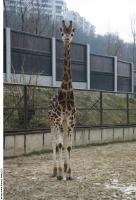 Giraffe 0009