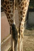 Giraffe 0014