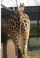 Giraffe 0017