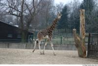 Giraffe poses 0002