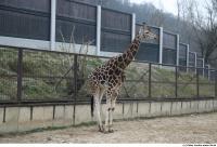 Giraffe poses 0003