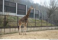 Giraffe poses 0004