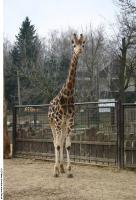 Giraffe poses 0005
