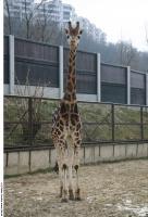 Giraffe poses 0006