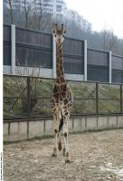 Giraffe poses 0007