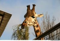 Giraffe poses 0011