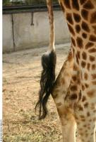 Giraffe poses 0012