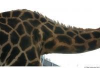 Giraffe poses 0013