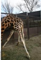 Giraffe poses 0019