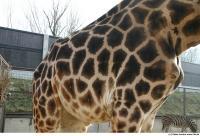 Giraffe poses 0029