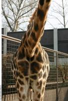 Giraffe poses 0038