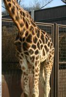 Giraffe poses 0039