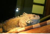 Iguana 0004