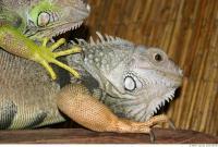 Iguana 0005