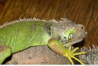 Iguana 0006