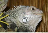 Iguana 0011