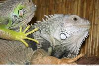 Iguana 0012
