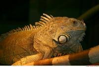 Iguana 0014