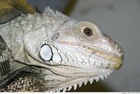 Iguana 0015
