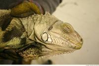 Iguana 0016