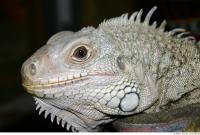 Iguana 0018