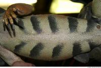 Iguana 0021