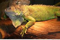Iguana 0024