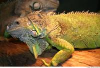 Iguana 0025