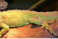 Iguana 0026