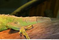 Iguana 0027
