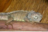 Iguana 0029