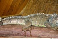 Iguana 0030