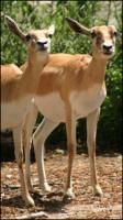 Antelope # 1