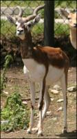 Antelope # 2