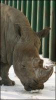 Rhinoceros poses