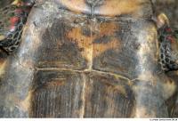 Geochelone carbonaria 0019
