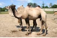 Camel 0002