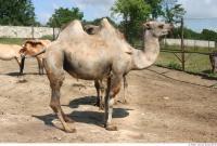 Camel 0003